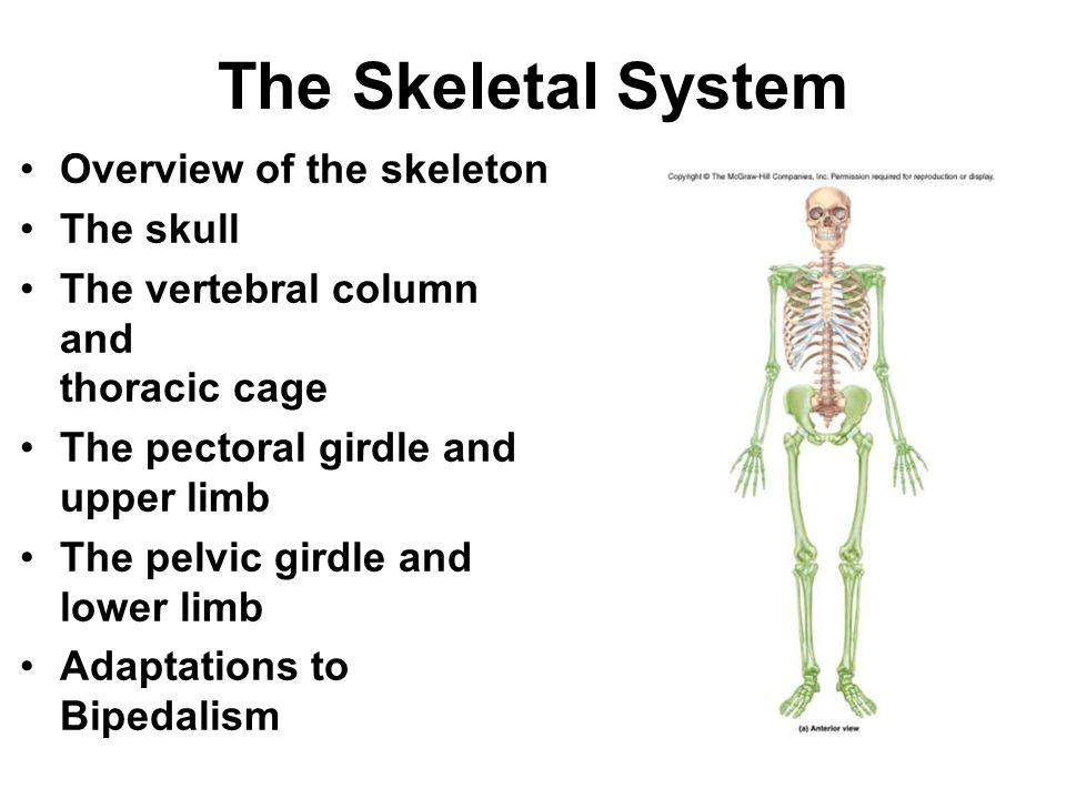 The Skeletal System Overview of the skeleton The skull