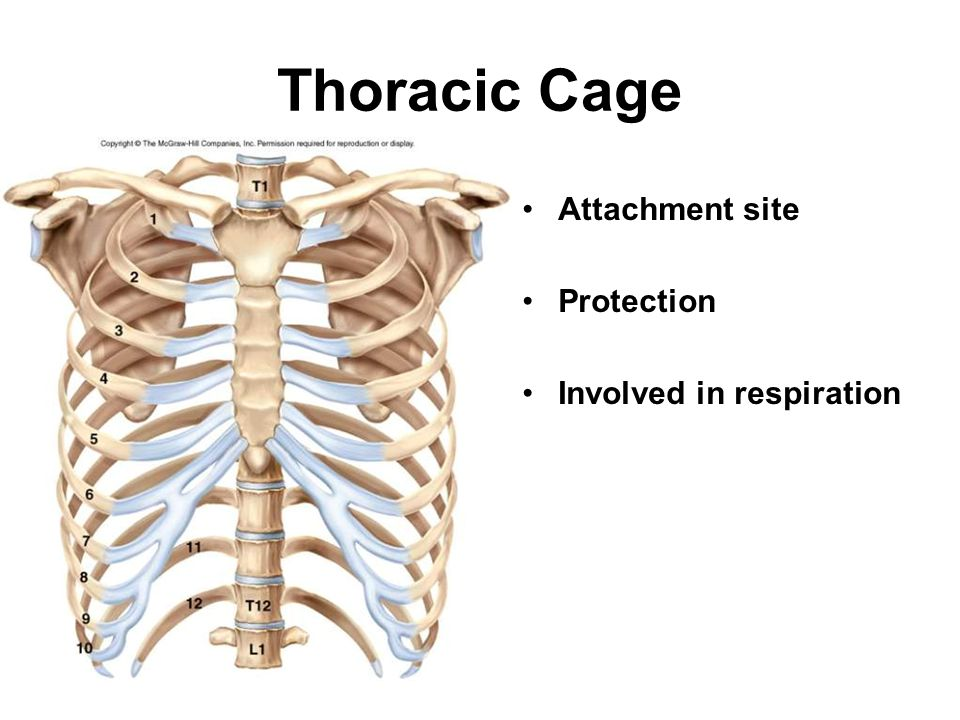 Thoracic Cage Attachment site Protection Involved in respiration