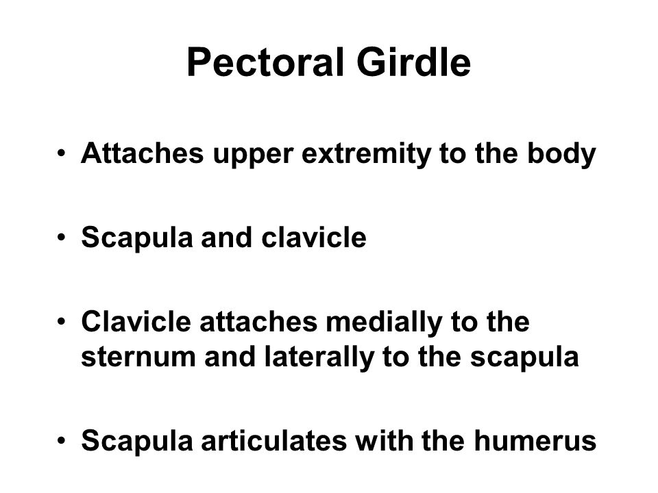 Pectoral Girdle Attaches upper extremity to the body