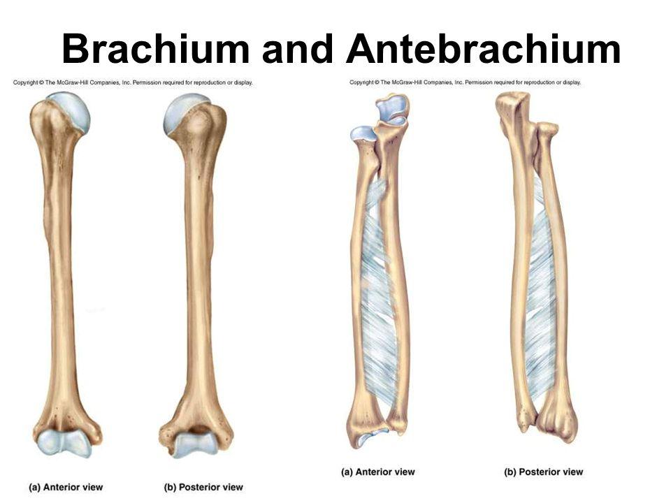 Brachium and Antebrachium