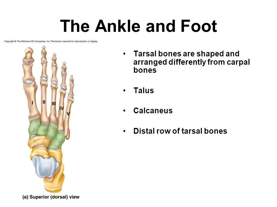 The Ankle and Foot Tarsal bones are shaped and arranged differently from carpal bones. Talus. Calcaneus.
