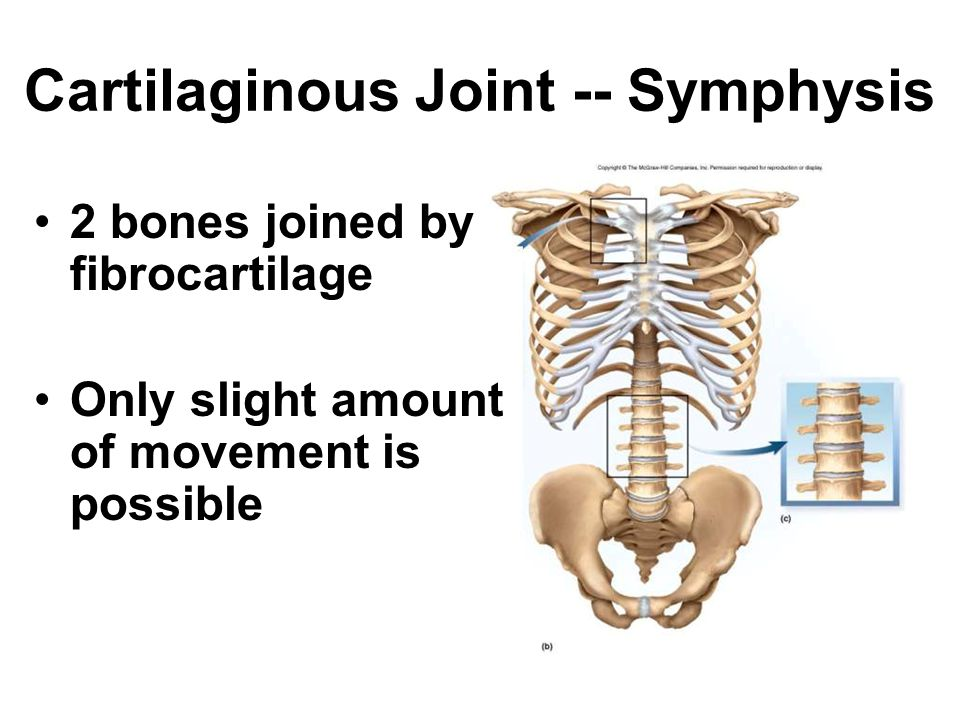 Cartilaginous Joint -- Symphysis