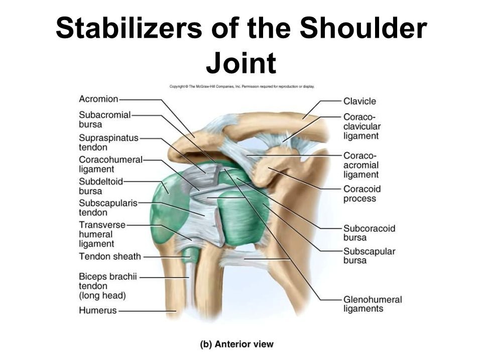 Stabilizers of the Shoulder Joint