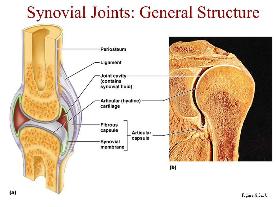 Synovial Joints: General Structure