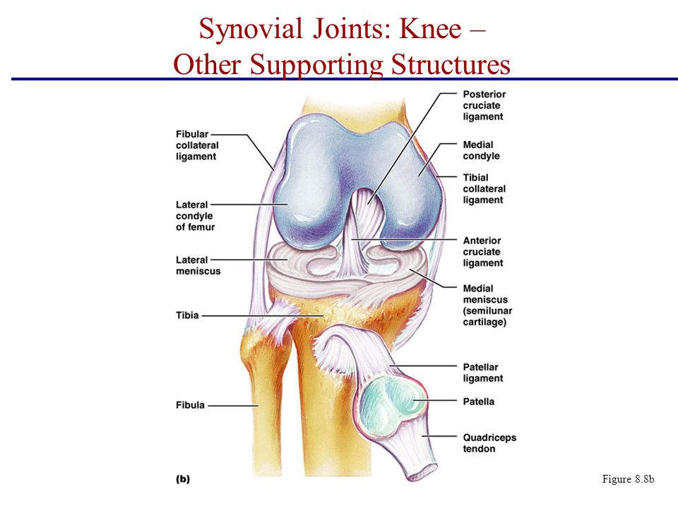 Synovial Joints: Knee – Other Supporting Structures