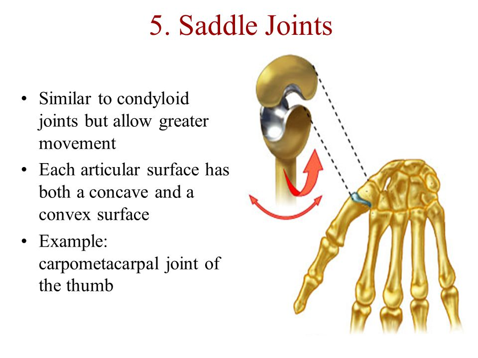 5. Saddle Joints Similar to condyloid joints but allow greater movement. Each articular surface has both a concave and a convex surface.