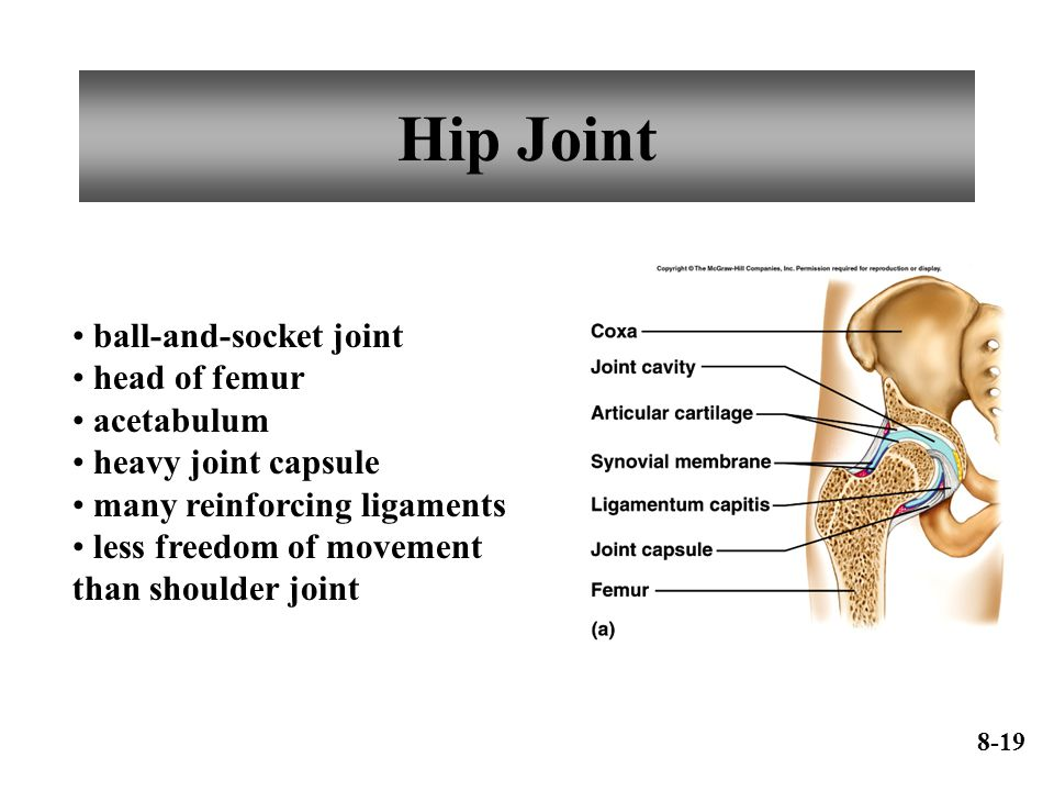 Hip Joint ball-and-socket joint head of femur acetabulum