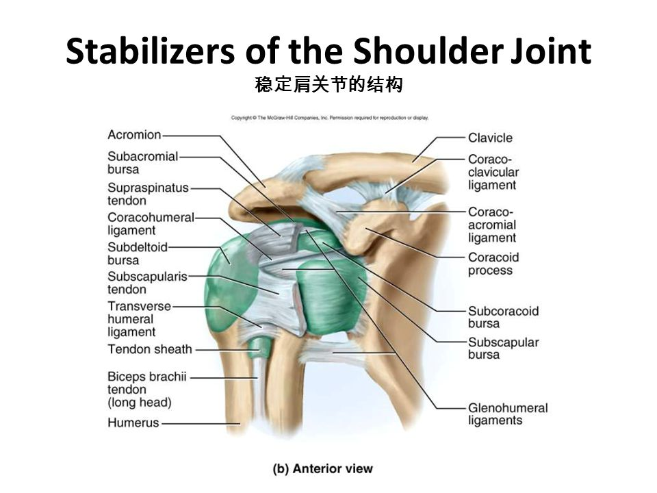 Stabilizers of the Shoulder Joint 稳定肩关节的结构