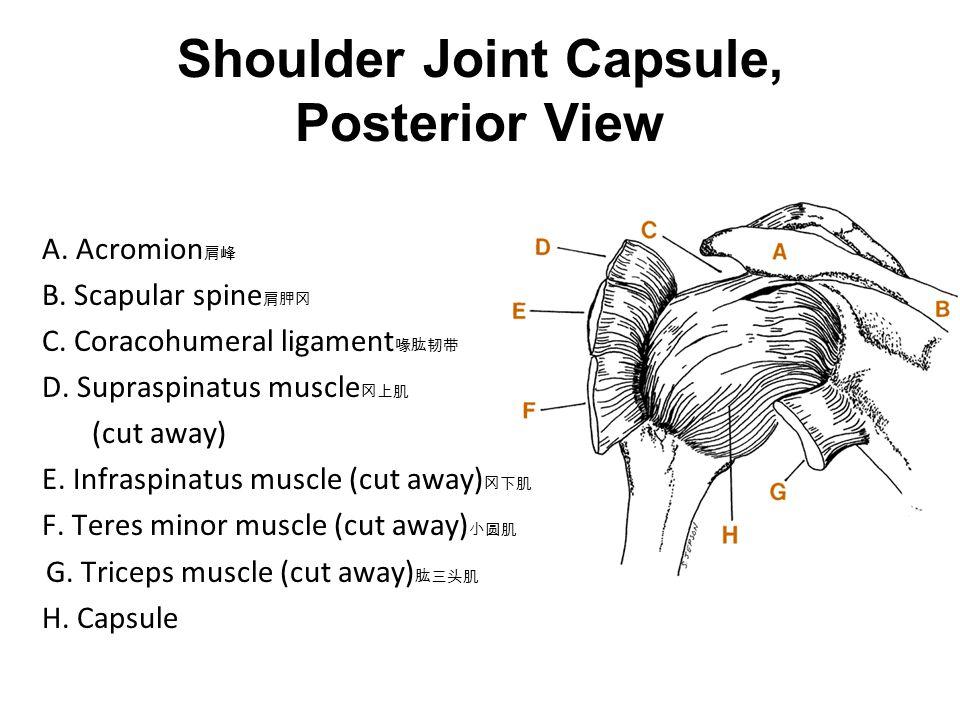 肌肉骨骼系统 关节&软骨. - ppt download