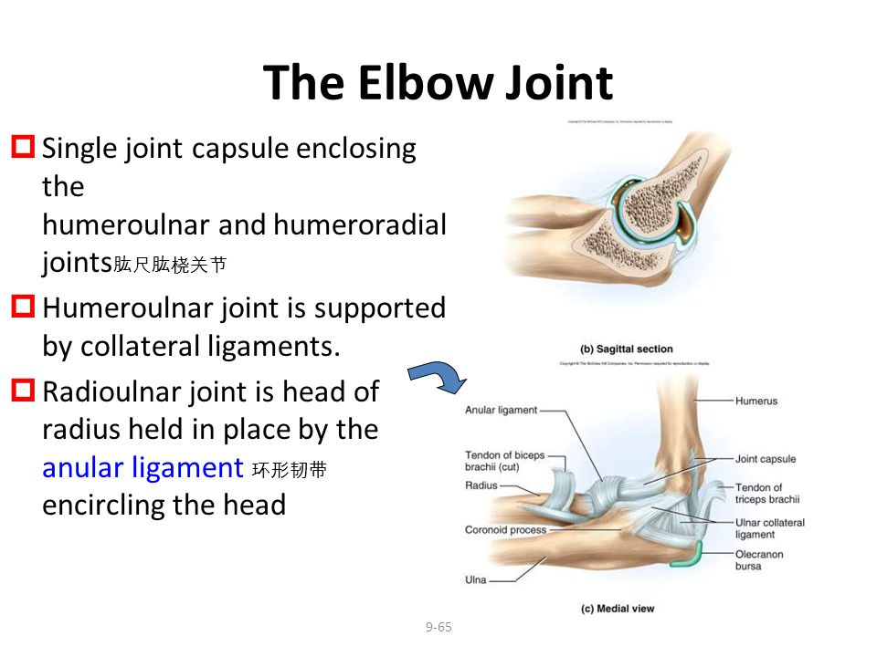 The Elbow Joint Single joint capsule enclosing the humeroulnar and humeroradial joints肱尺肱桡关节.