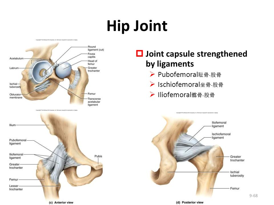 Hip Joint Joint capsule strengthened by ligaments Pubofemoral耻骨-股骨