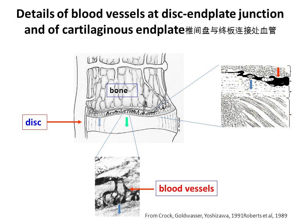 Details of blood vessels at disc-endplate junction