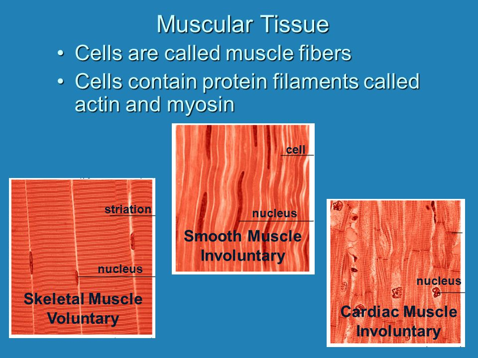Muscular Tissue Cells are called muscle fibers
