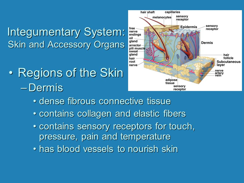 Integumentary System: Skin and Accessory Organs