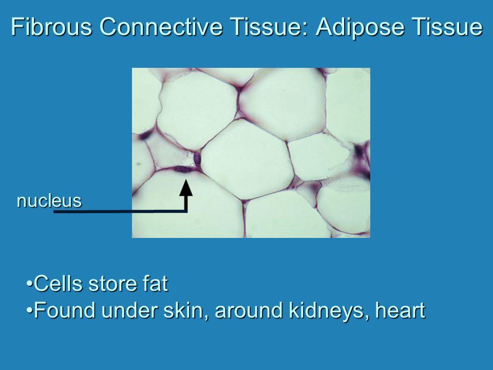 Fibrous Connective Tissue: Adipose Tissue
