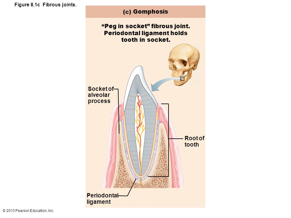 Peg in socket fibrous joint. Periodontal ligament holds