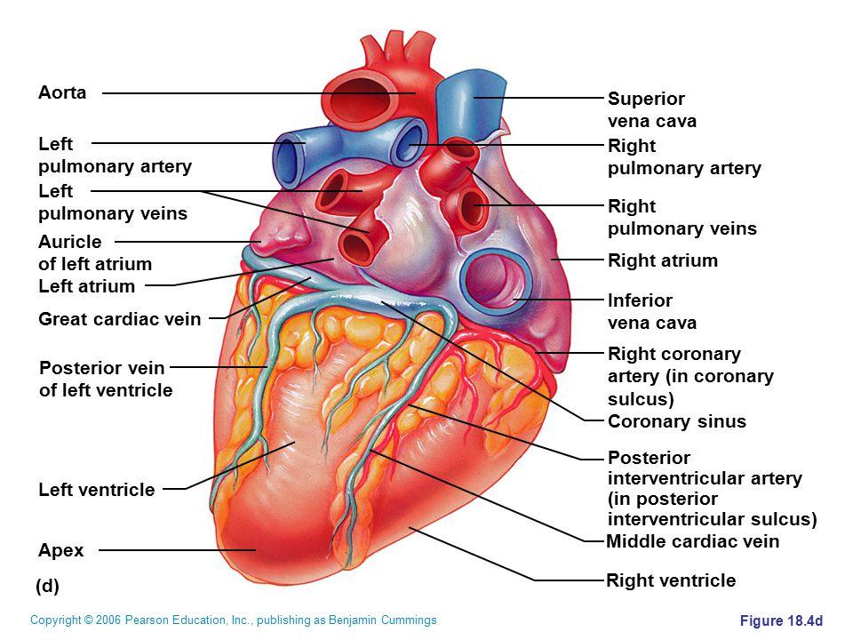 interventricular artery (in posterior interventricular sulcus)
