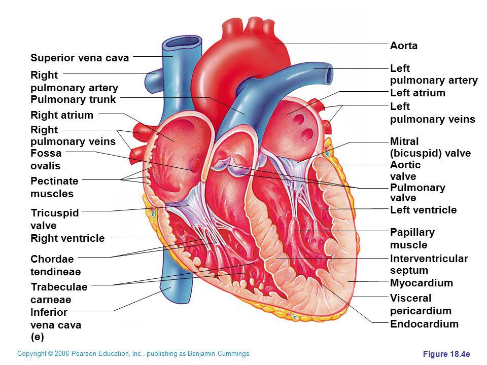 Aorta Superior vena cava Left Right pulmonary artery pulmonary artery