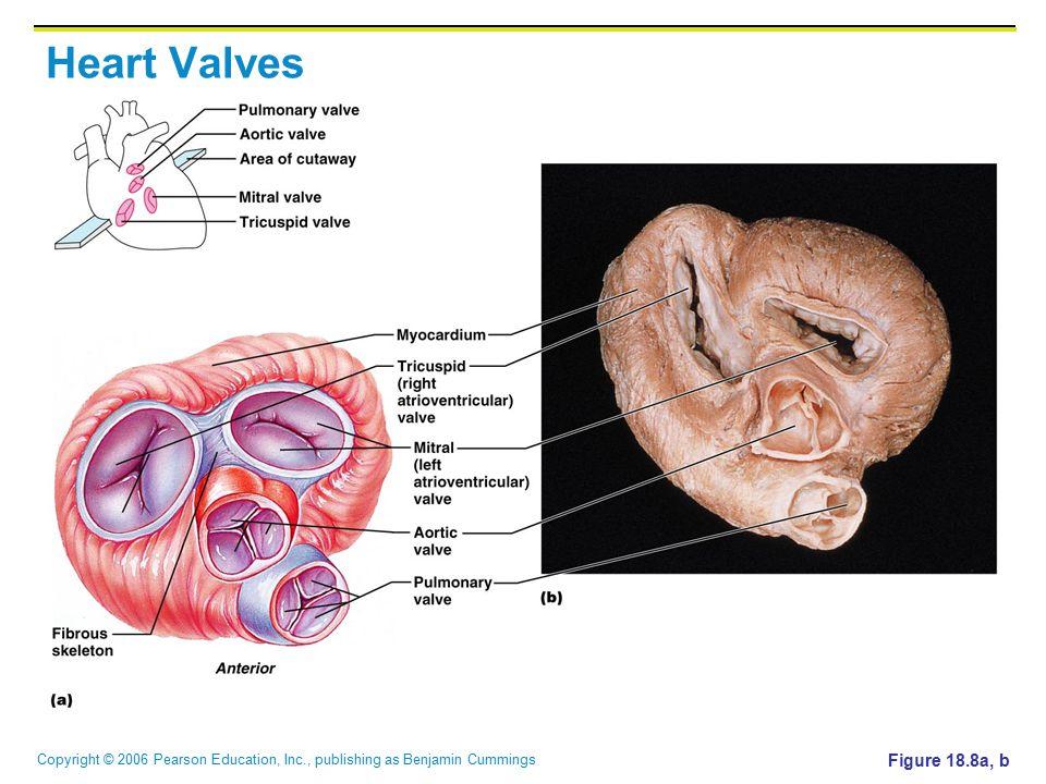 Heart Valves Figure 18.8a, b