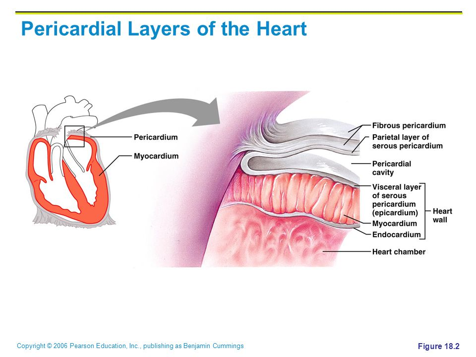 Pericardial Layers of the Heart