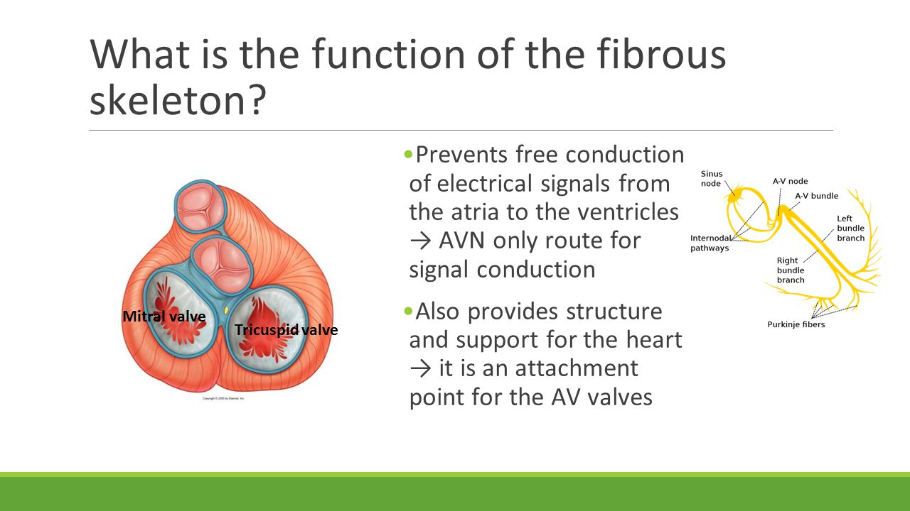 What is the function of the fibrous skeleton