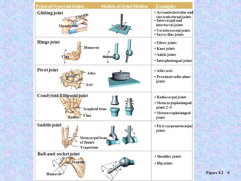 Condyloid/Ellipsoid joint