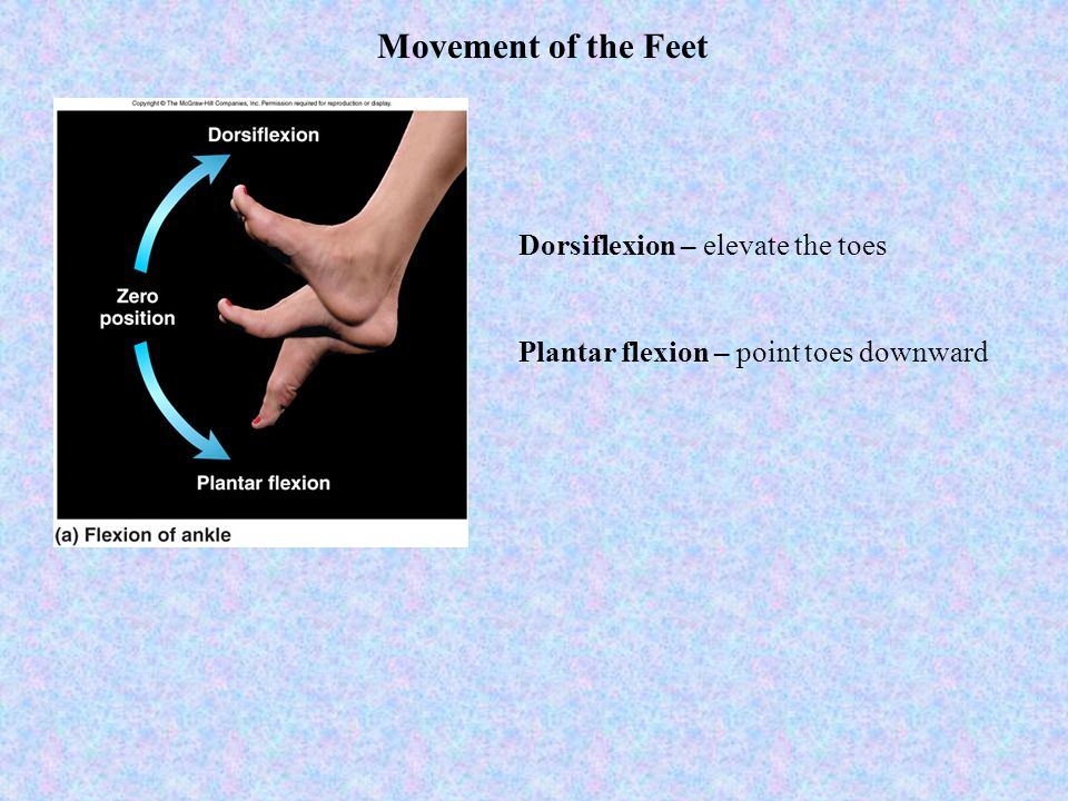Movement of the Feet Dorsiflexion – elevate the toes
