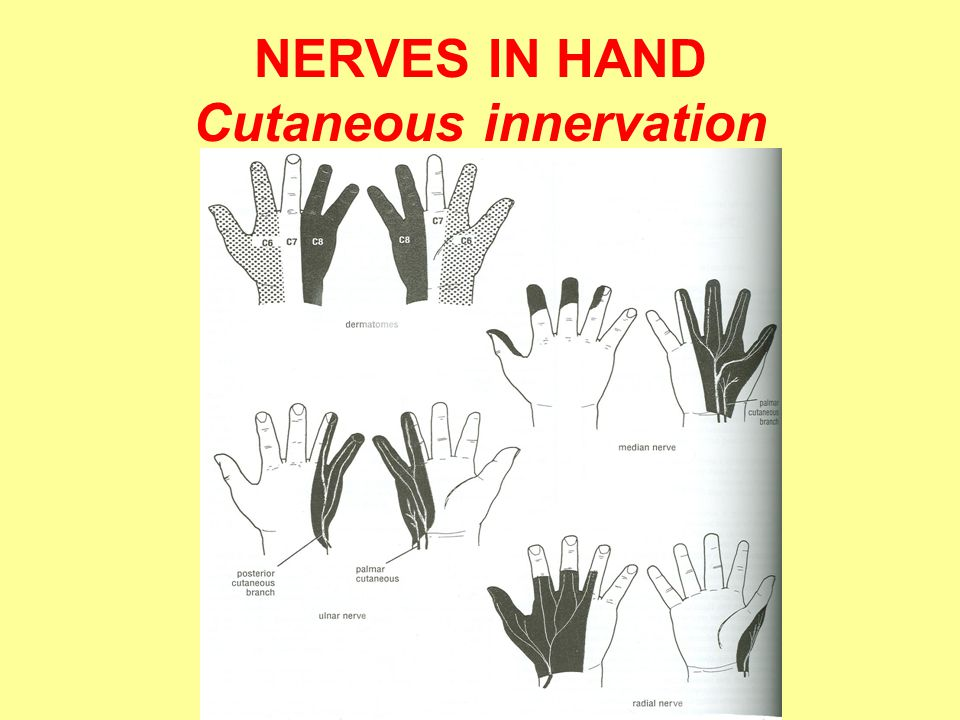 NERVES IN HAND Cutaneous innervation