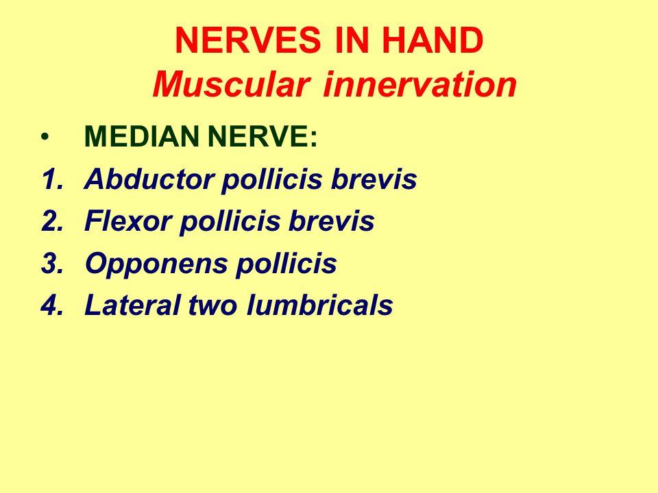 NERVES IN HAND Muscular innervation