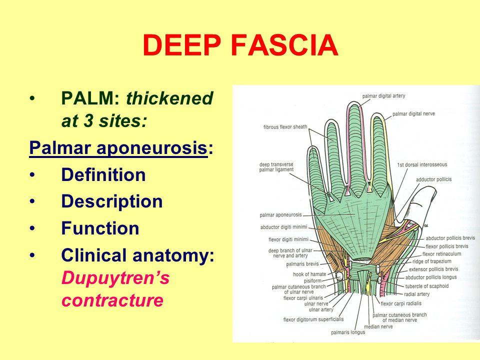 DEEP FASCIA PALM: thickened at 3 sites: Palmar aponeurosis: Definition