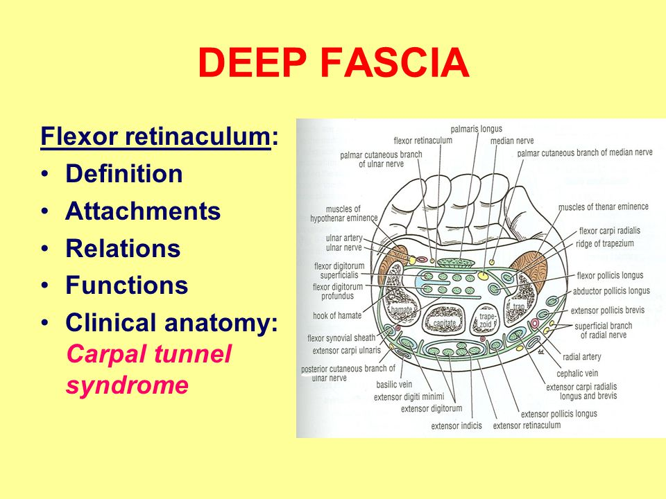 DEEP FASCIA Flexor retinaculum: Definition Attachments Relations
