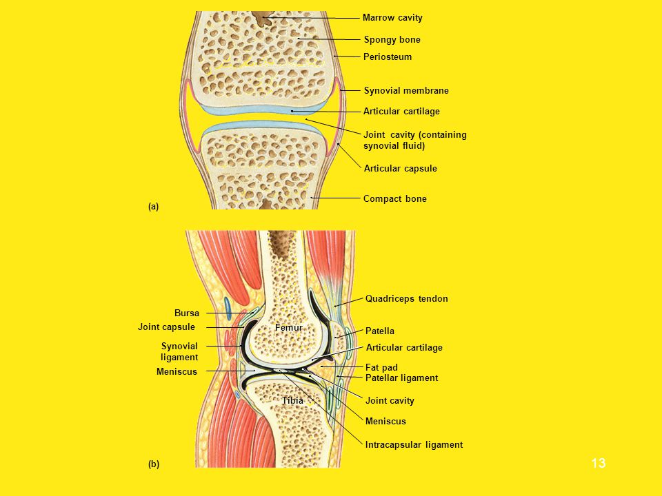 (a) (b) Synovial. ligament. Bursa. ibia. Femur. Patella. Articular cartilage. Fat pad. Joint capsule.