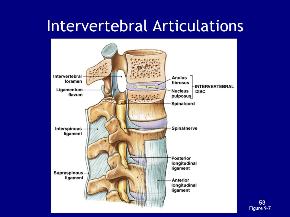 Intervertebral Articulations