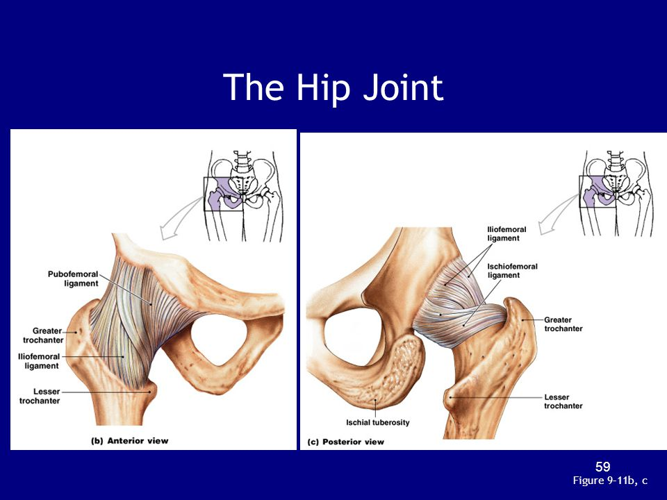 The Hip Joint Figure 9–11b, c