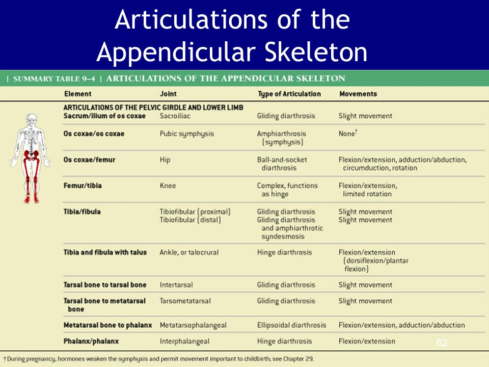 Articulations of the Appendicular Skeleton