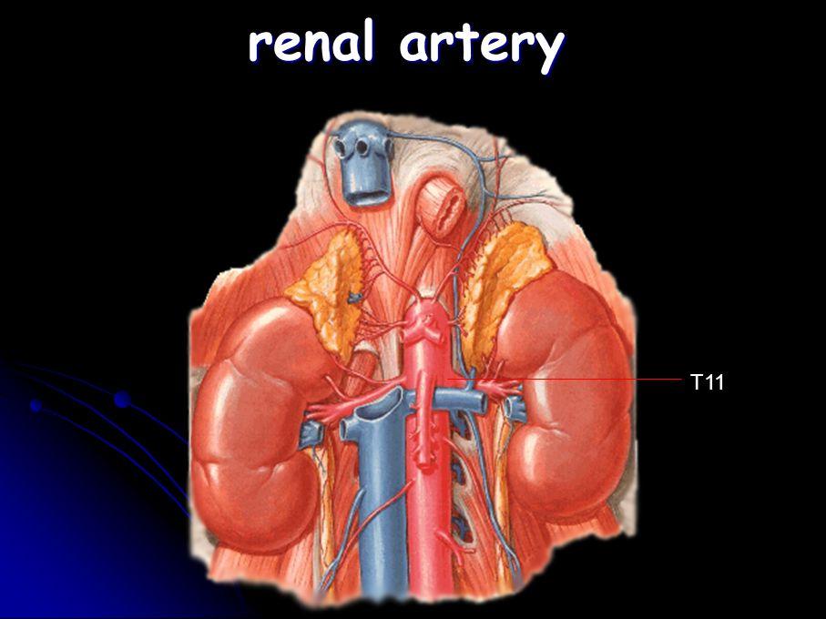 renal artery T11