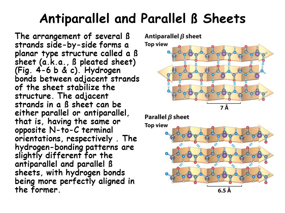 Antiparallel and Parallel ß Sheets