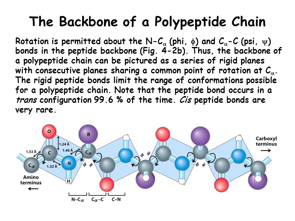 The Backbone of a Polypeptide Chain