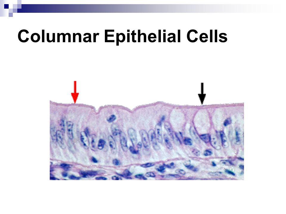 Columnar Epithelial Cells