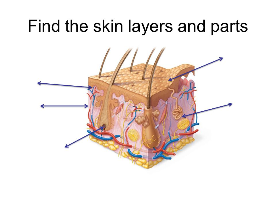 Find the skin layers and parts