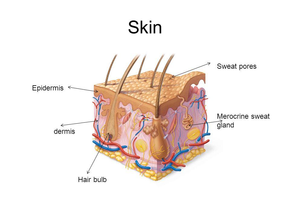Skin Sweat pores Epidermis Merocrine sweat gland dermis Hair bulb