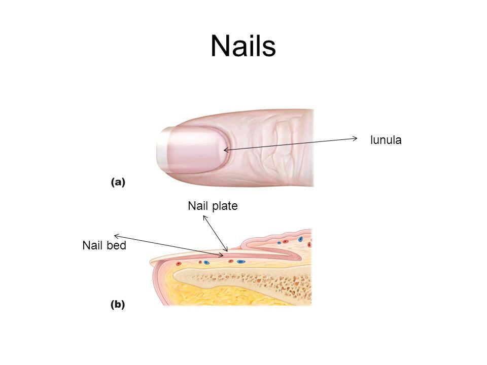 Nails lunula Nail plate Nail bed