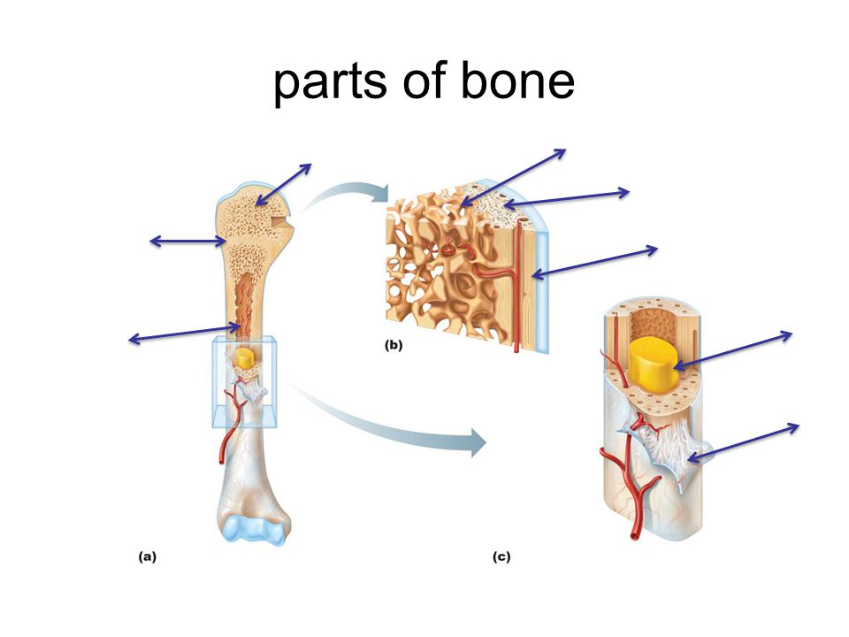 parts of bone