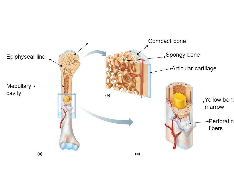 Compact bone Spongy bone. Epiphyseal line. Articular cartilage. Medullary cavity. Yellow bone. marrow.