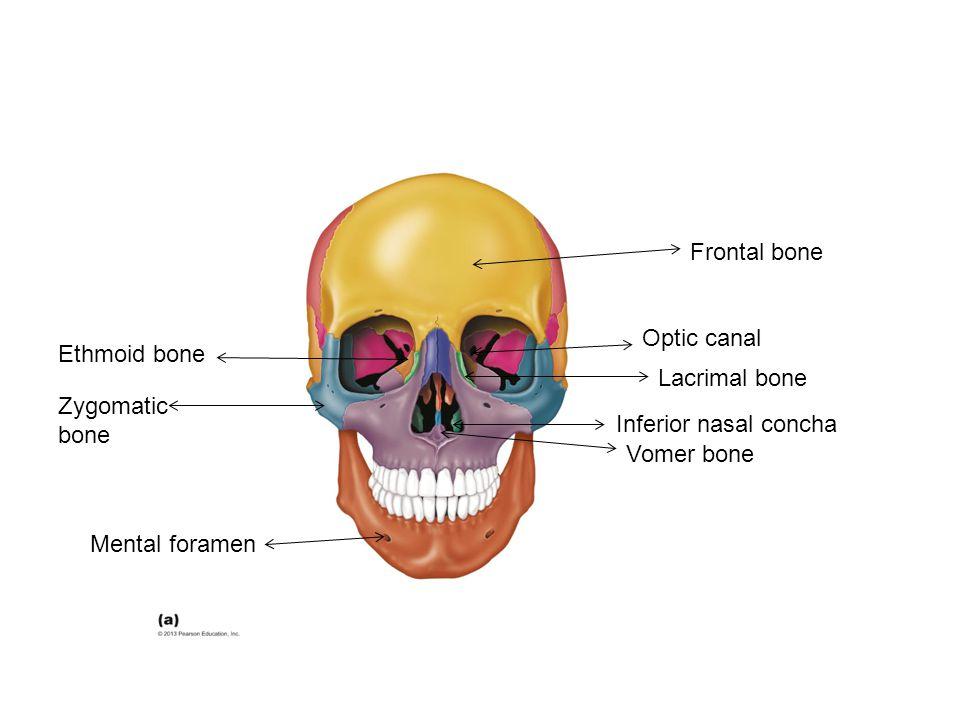 Frontal bone Optic canal. Ethmoid bone. Lacrimal bone. Zygomatic bone. Inferior nasal concha. Vomer bone.