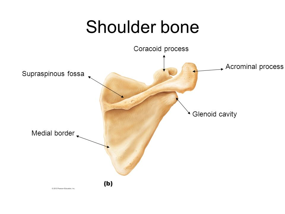 Shoulder bone Coracoid process Acrominal process Supraspinous fossa