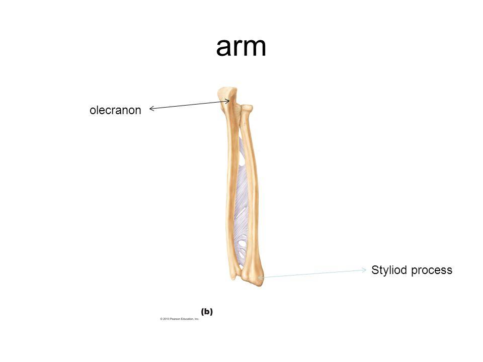arm olecranon Styliod process