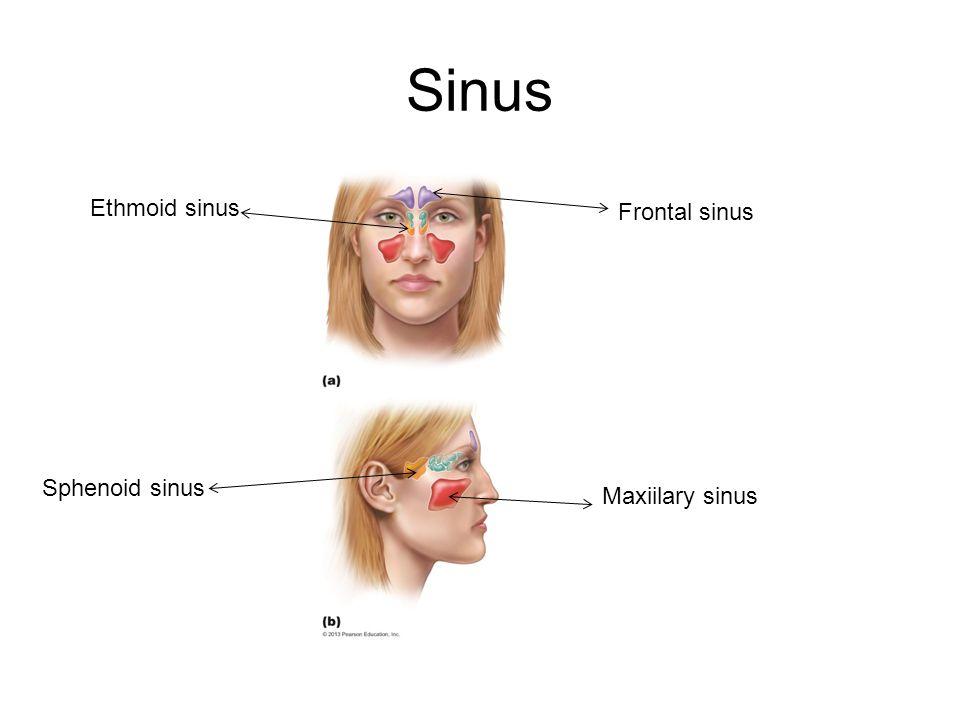 Sinus Ethmoid sinus Frontal sinus Sphenoid sinus Maxiilary sinus