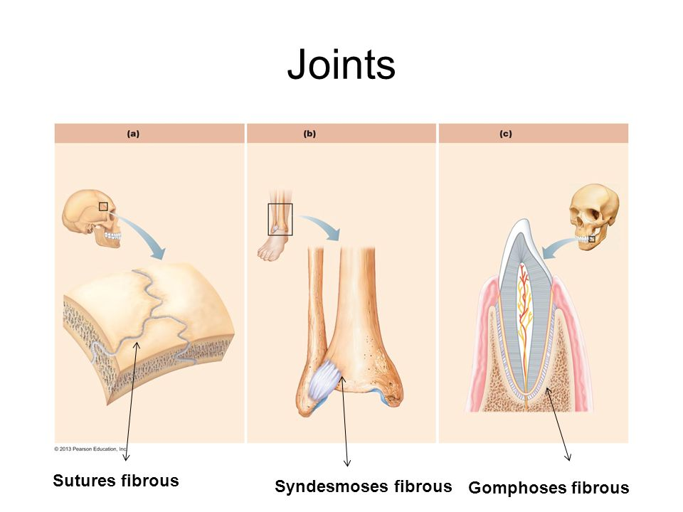 Joints Sutures fibrous Syndesmoses fibrous Gomphoses fibrous