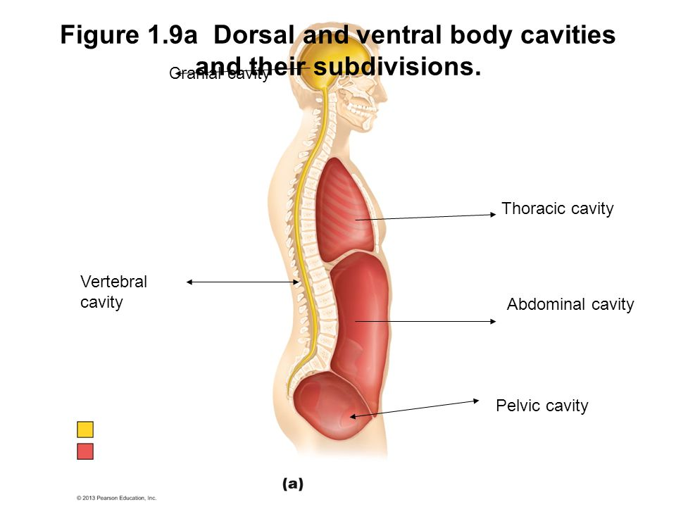 Figure 1.9a Dorsal and ventral body cavities and their subdivisions.